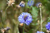 Honigbiene auf Kornblume.jpg