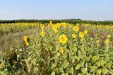Sonnenblumen in August 2019.jpg