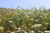 Blühpatenschaftsfläche in Freistadt.jpg