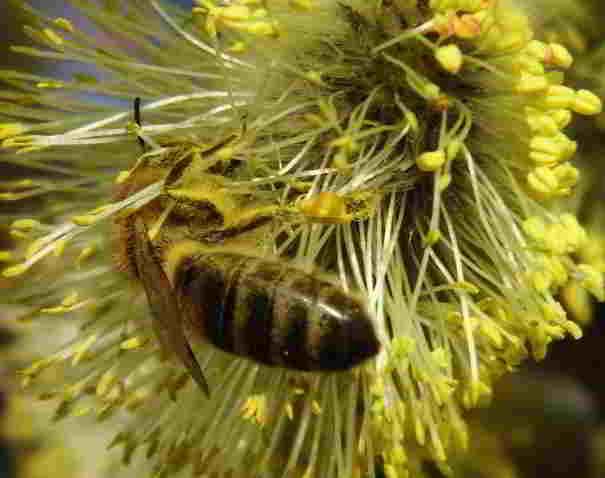 Biene auf Palmweide.jpg © C. Boigenzahn